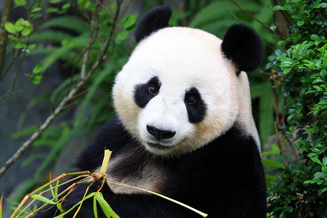 Les mesures prisent par la Chine pour protéger les pandas géants sont une belle réussite