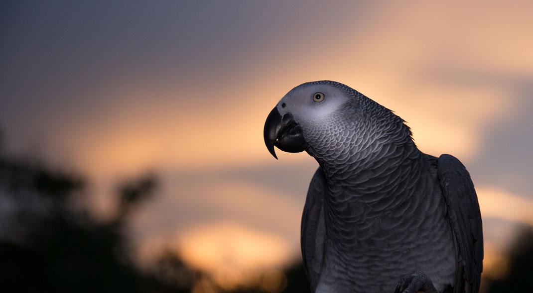 Un perroquet du Gabon