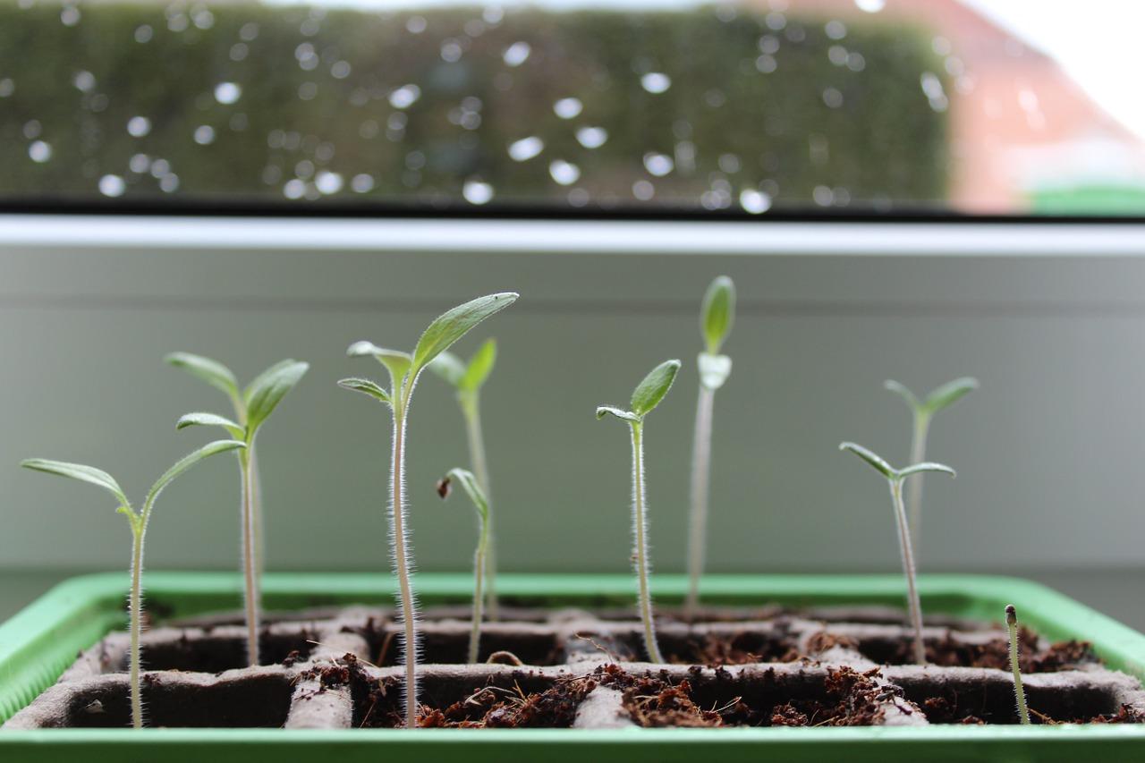Faire pousser des tomates chez soi