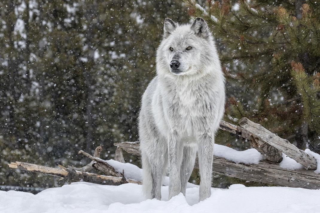 Abattre les loups pour protéger le bétail est en réalité inutile via Shutterstock