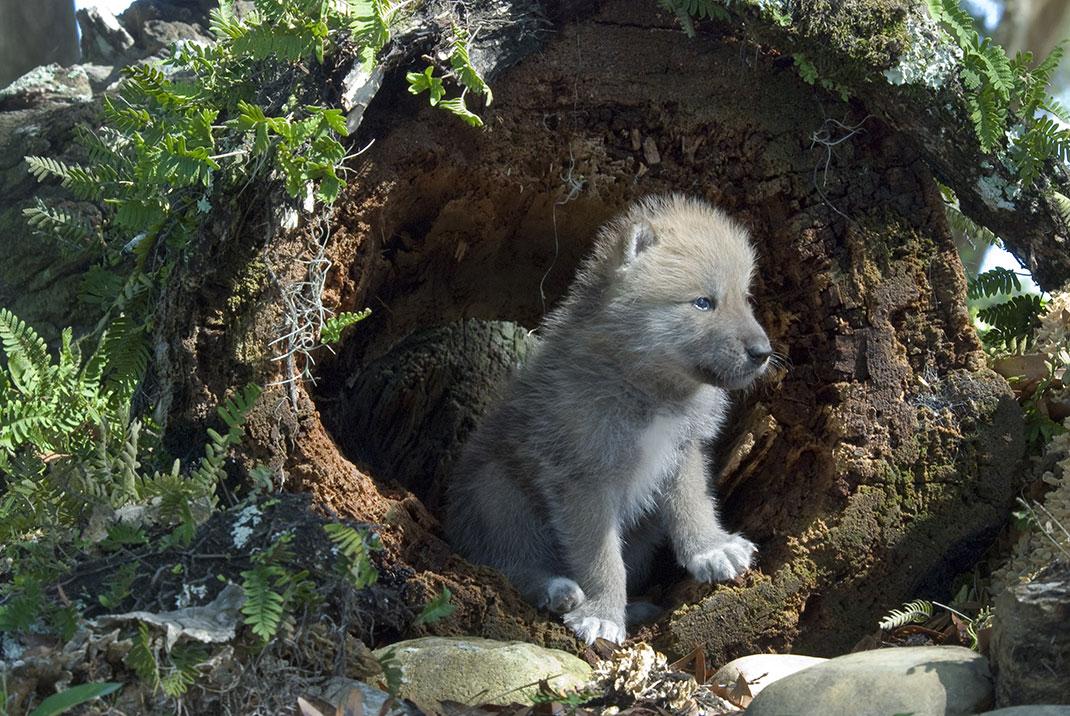 Le loup est une espèce protégée via Shutterstock