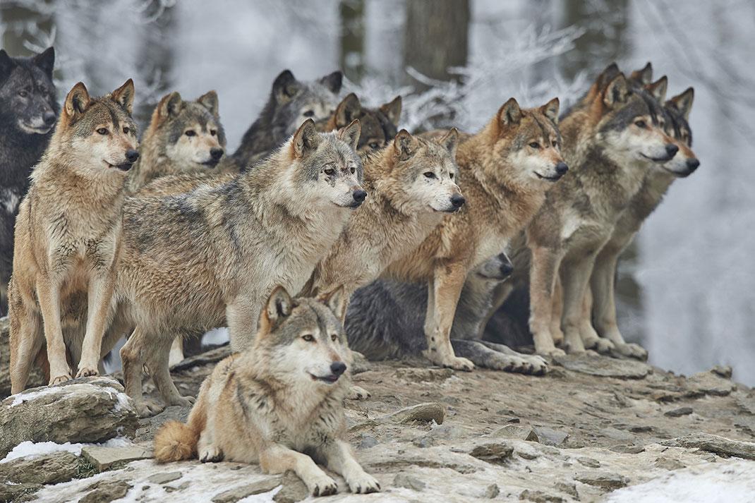 Le loup est un animal social qui vit en meute