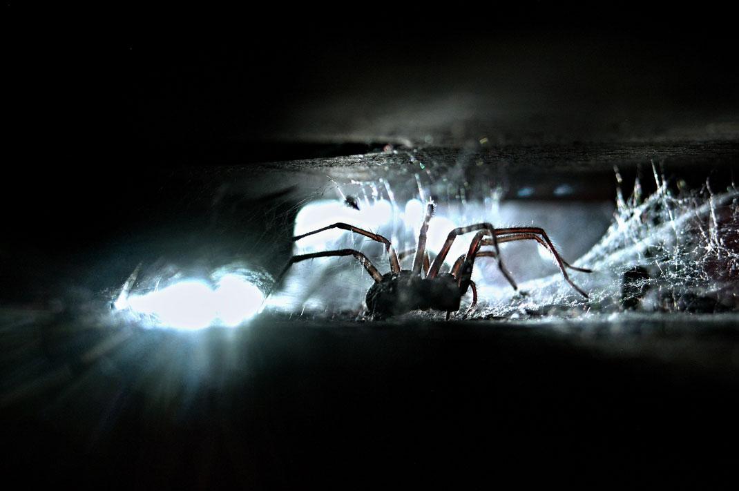 Une tégénaire éclairée par une lampe-torche via Shutterstock
