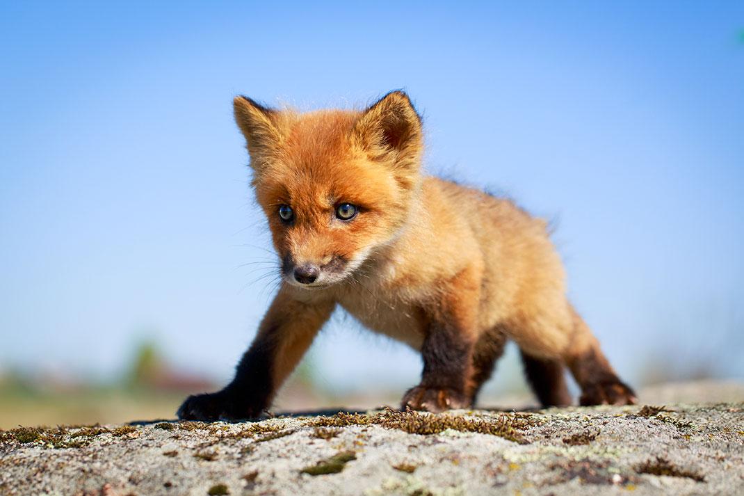 Un bébé renard via Shutterstock