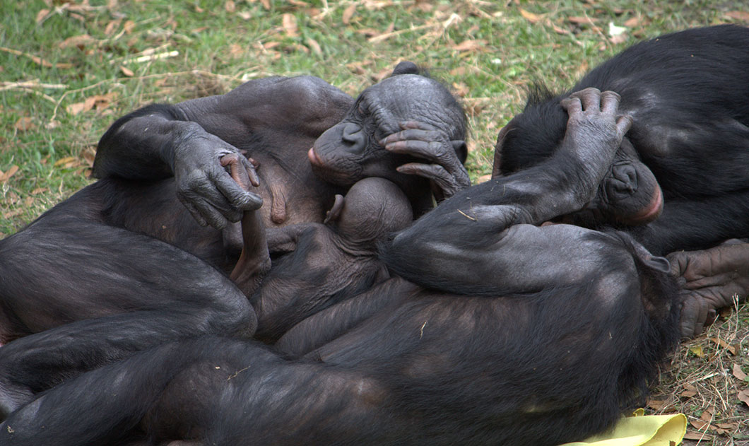 Une famille de bonobos © FlickR / LaggedOnUser