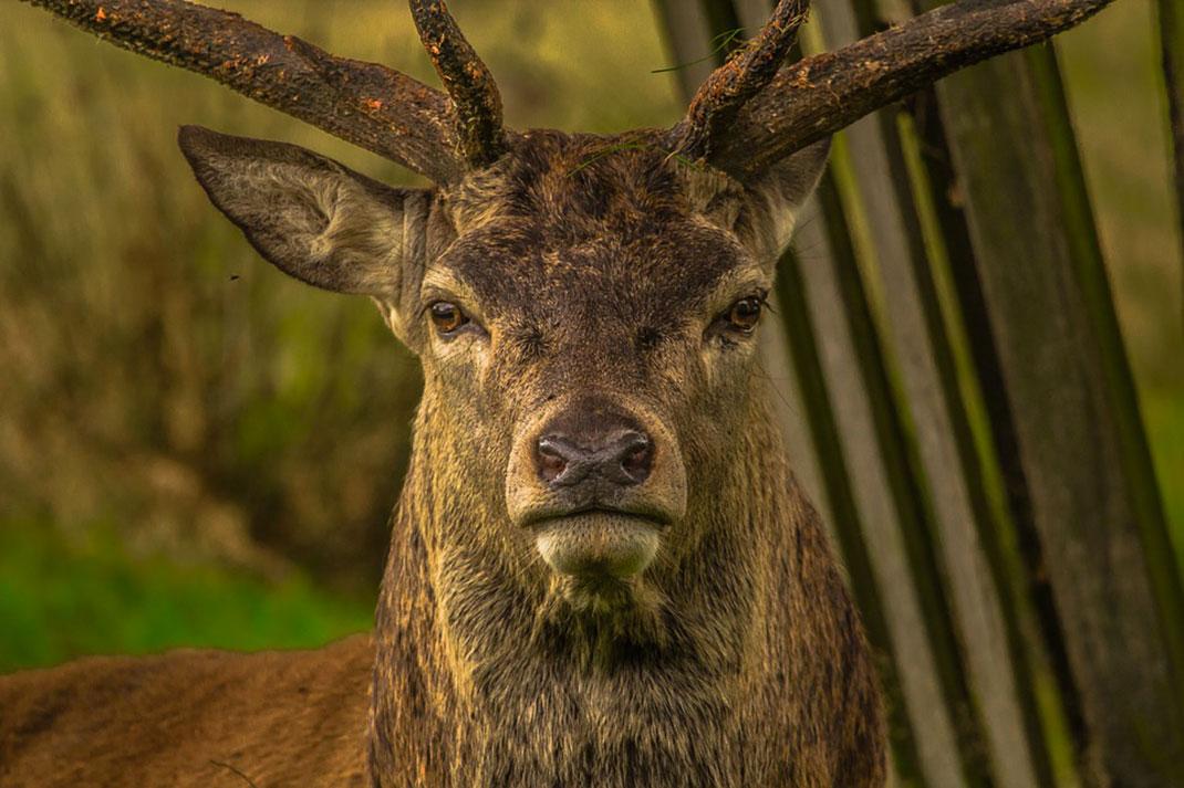cerf-animal