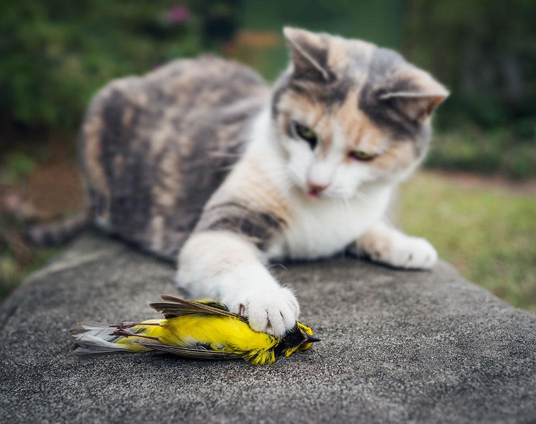 Un chat a attrapé un oiseau via Shutterstock