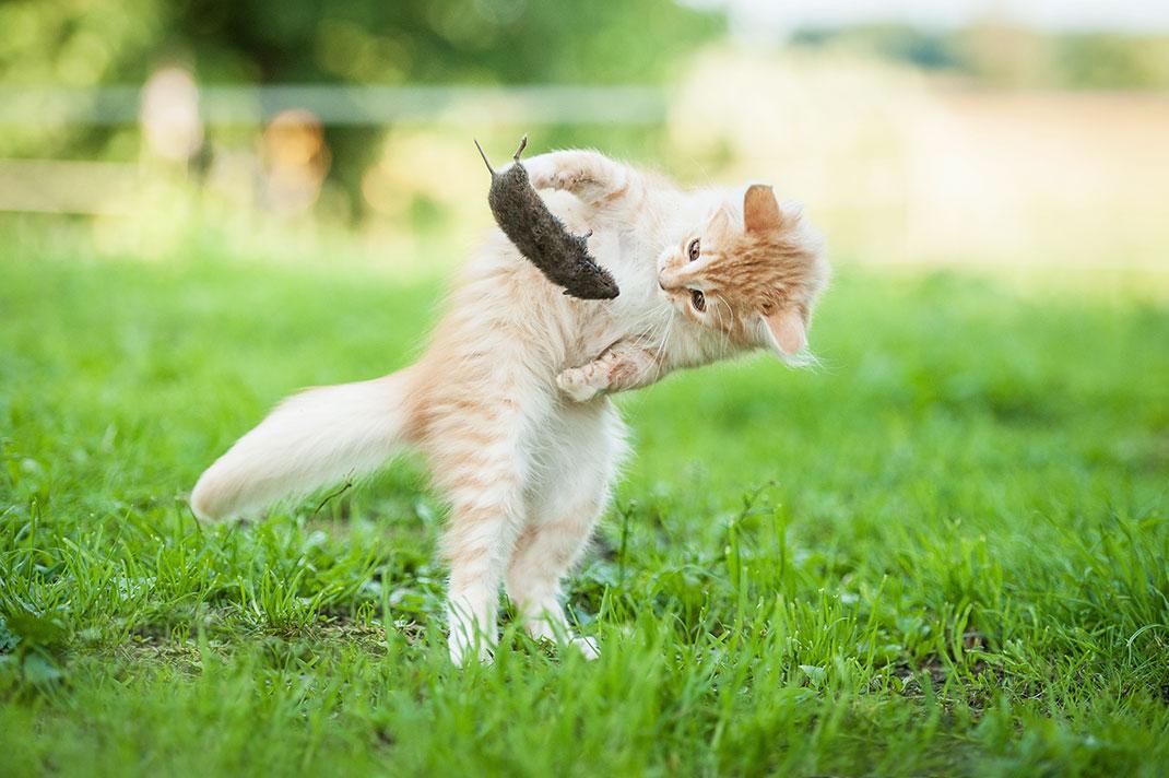 Un chaton joue avec une souris qu'il a capturé via Shutterstock