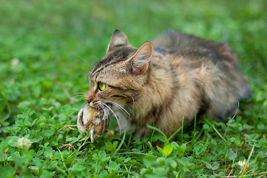 Un chat mange un oiseau via Shutterstock