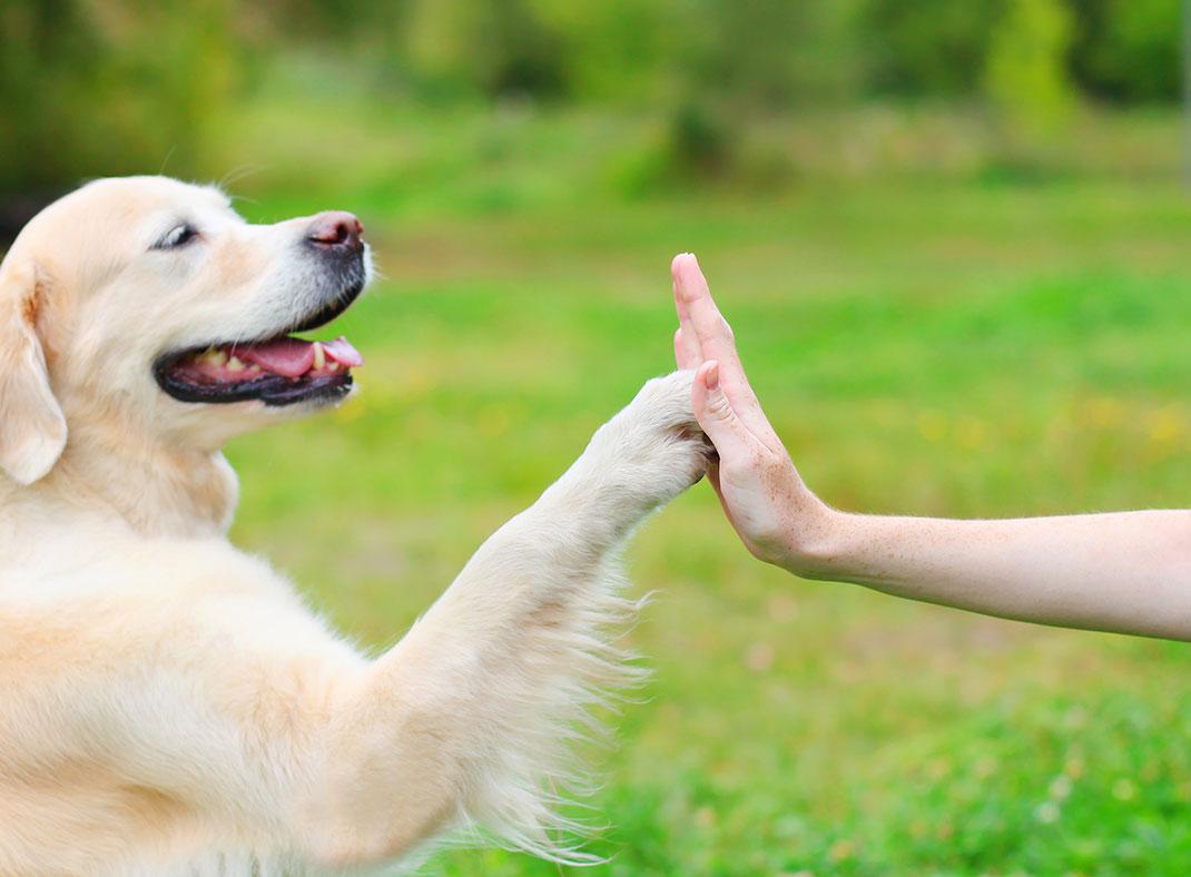 Un golden retriever donne la patte à son maître via Shutterstock