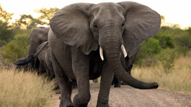 elephant-solo
