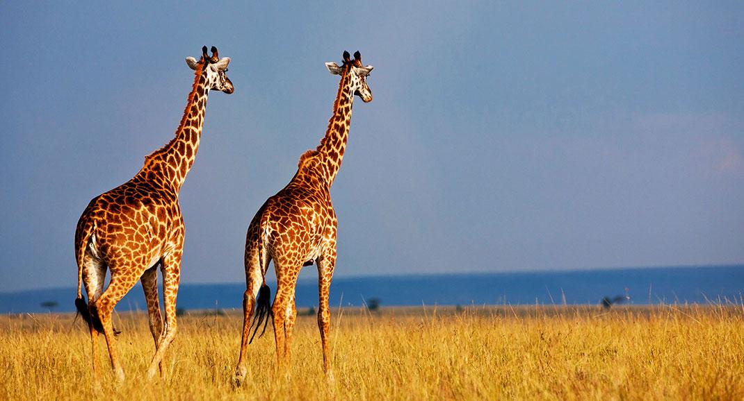 Si elles paraissent toutes similaires, il existe en réalité quatre espèces différentes de girafes