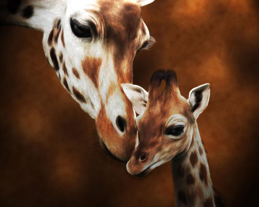 Les différences génétiques entre chaque espèces de girafes sont aussi importantes qu'entre un ours brun et un ours polaire