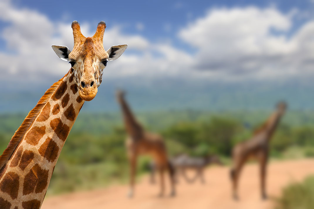 Les girafes sont donc plus en danger d'extinction que nous ne l'imaginions