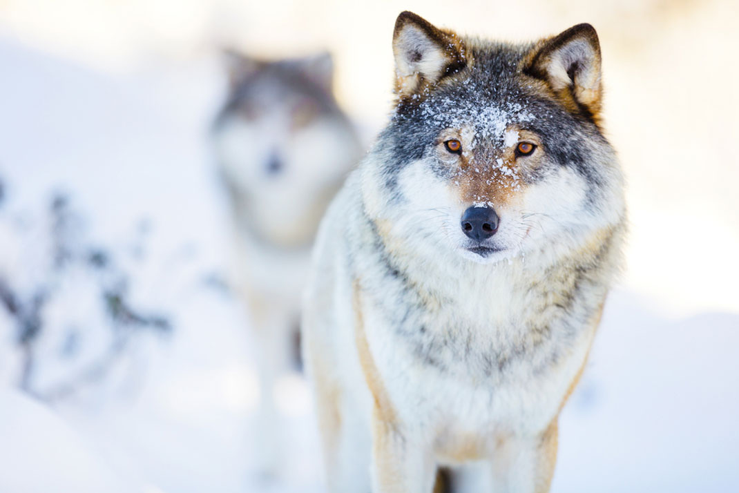 loups-norvege-chasse-tuer-1