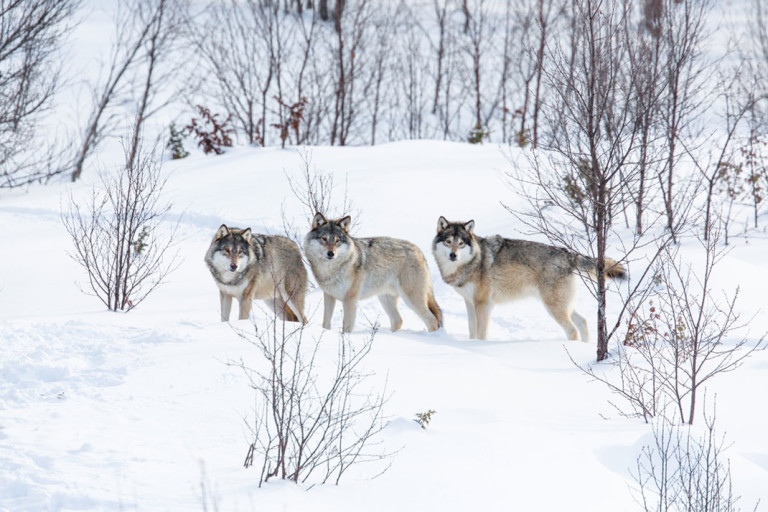 Belles images - Page 3 Loups-norvege-chasse-tuer-3-768x512