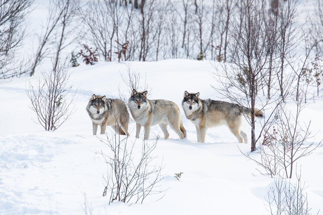 Une meute de loups norvégienne via Shutterstock