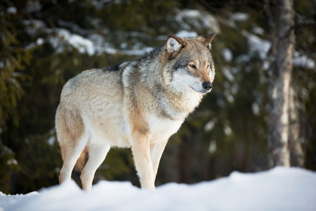 Un loup dans la forêt norvégienne en hiver via Shutterstock