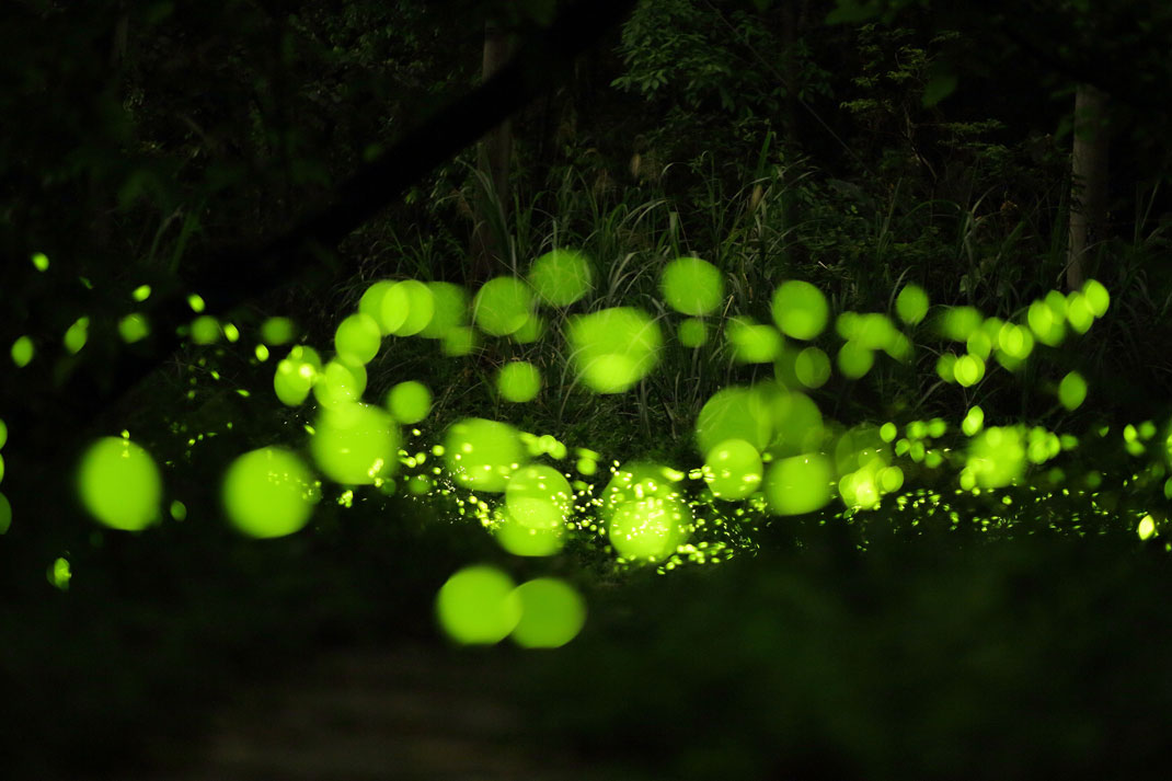 Des lucioles