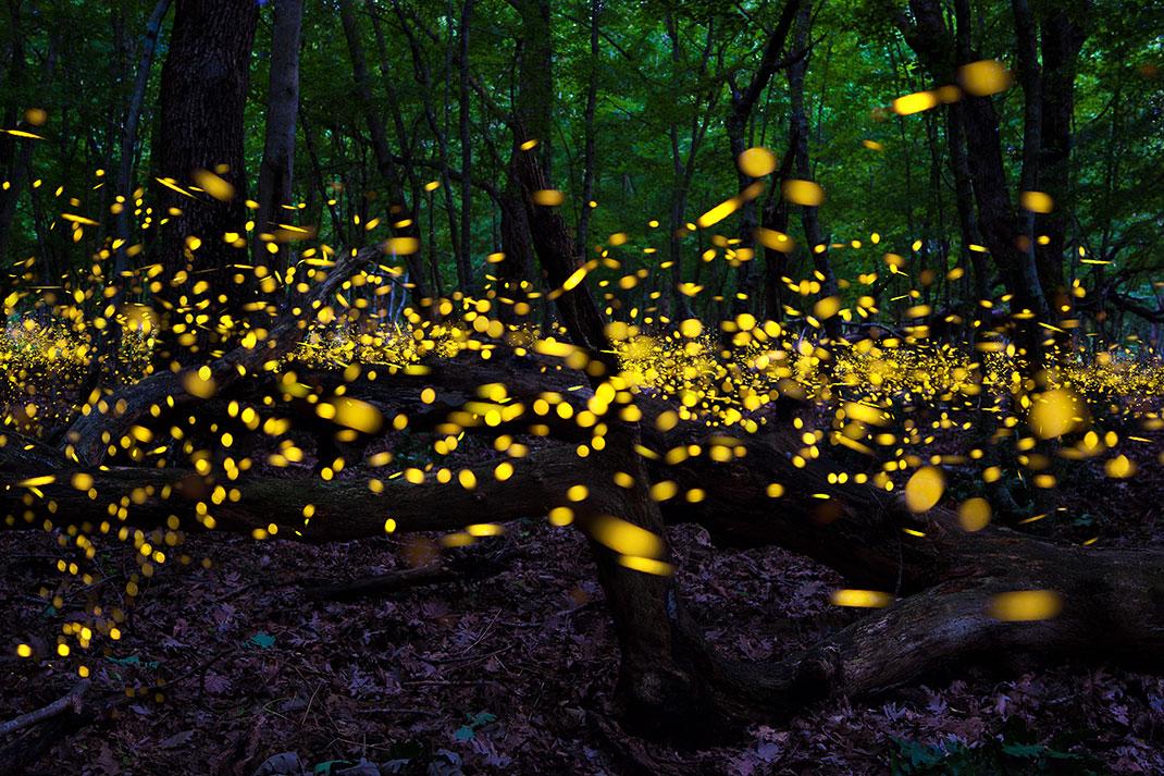 Des lucioles via Shutterstock