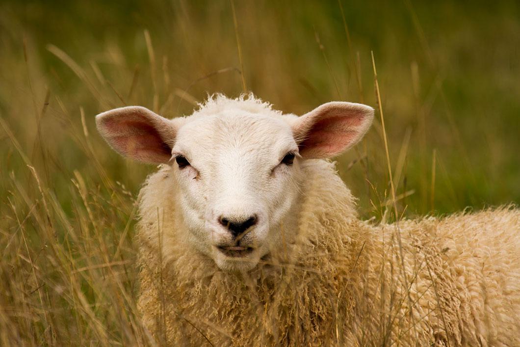 mouton-blanc