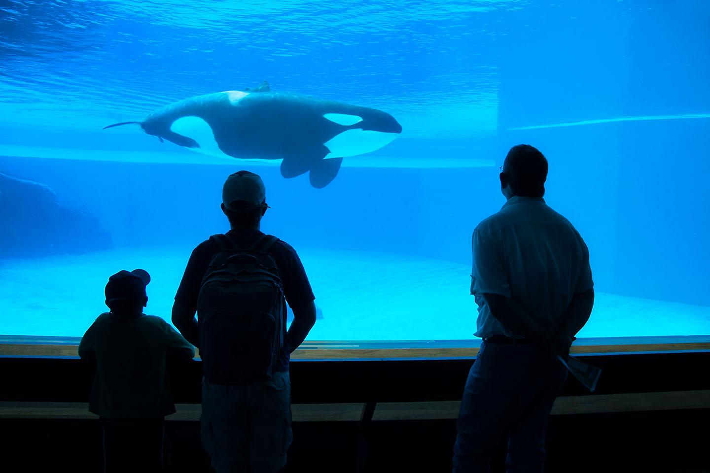 Une orque en captivité via Shutterstock