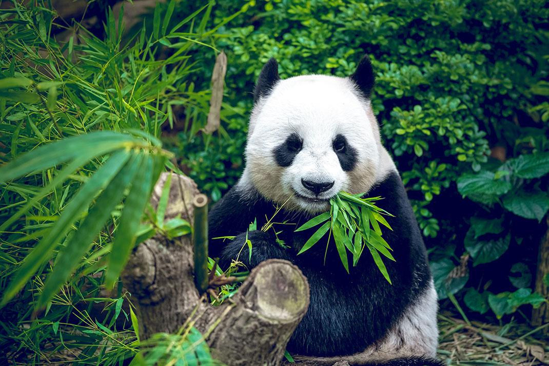 Après 50 de lutte contre la disparition du panda géant, sa population a enfin augmenté