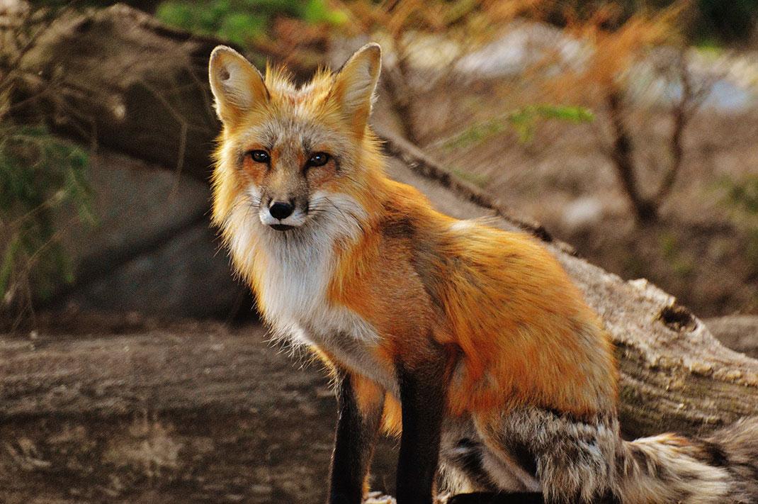 28 associations ont décidé de défendre le renard