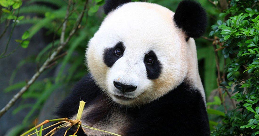 excellente nouvelle le panda g ant n est plus en danger d extinction. Black Bedroom Furniture Sets. Home Design Ideas