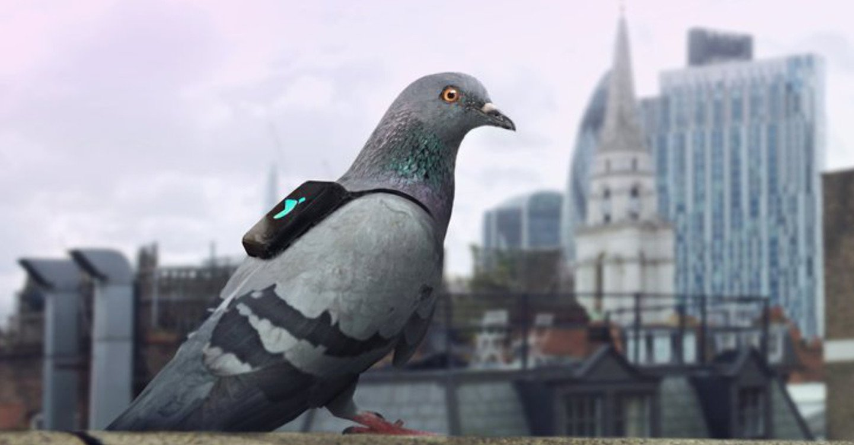 une-pigeons