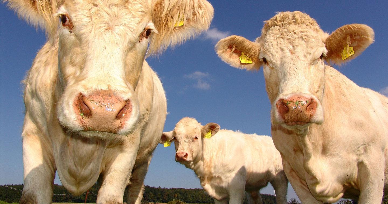 Des vaches dans un champ