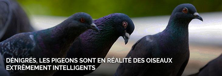 1-recap-pigeons