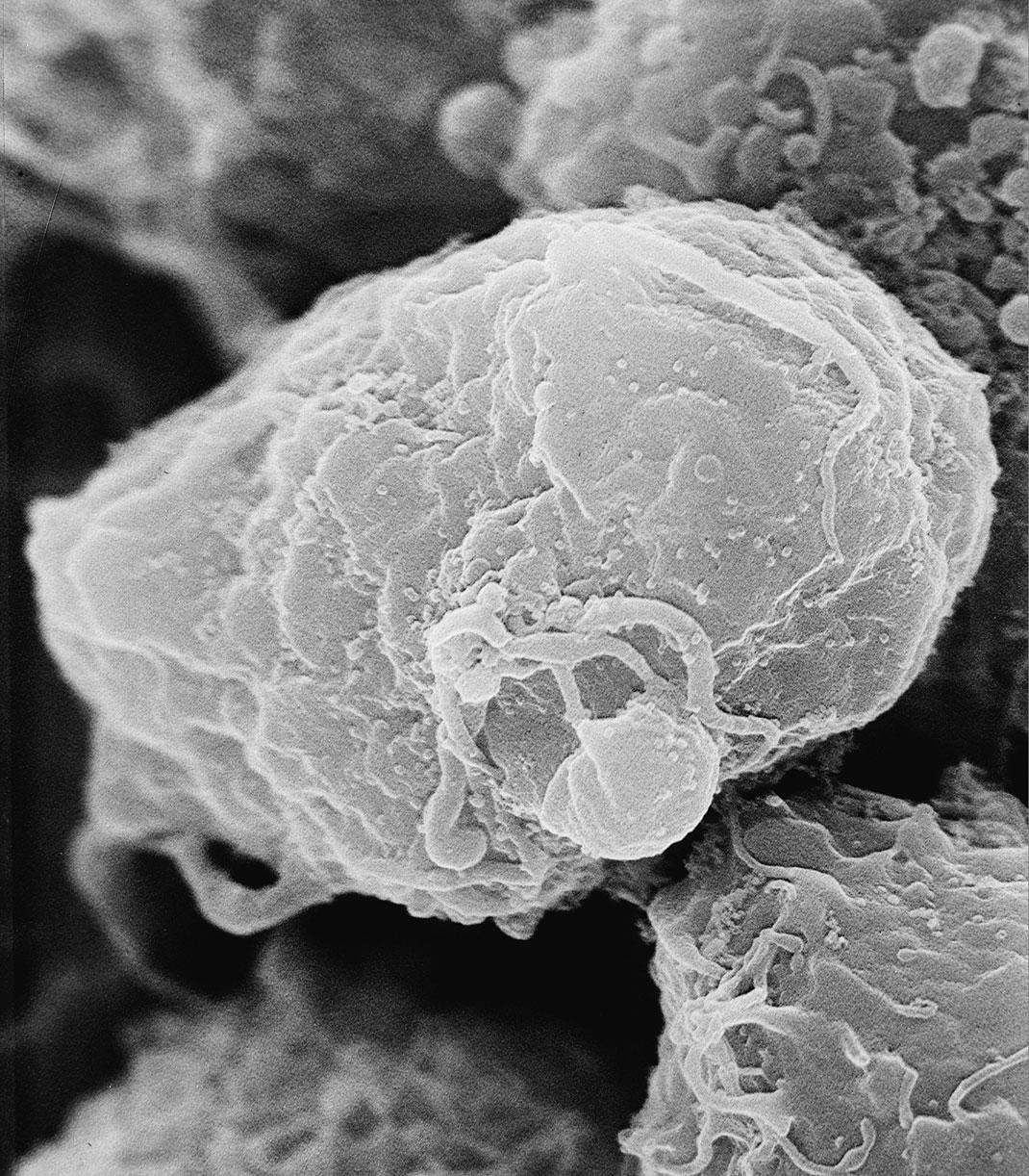 Le virus lié à une cellule T