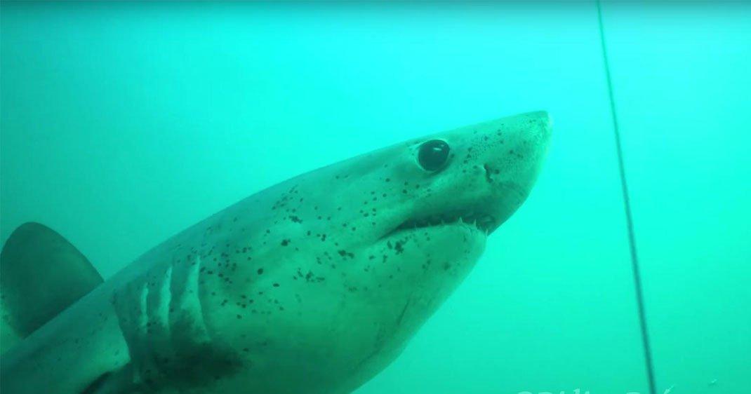 Capture d'écran - Requin-taupe commun