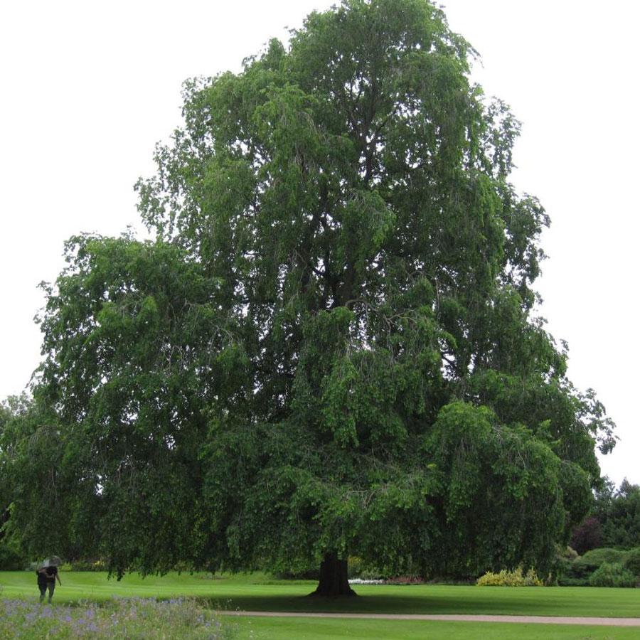 on la croyait disparue depuis 100 ans pourtant cette esp ce d arbre vient d tre retrouv e. Black Bedroom Furniture Sets. Home Design Ideas