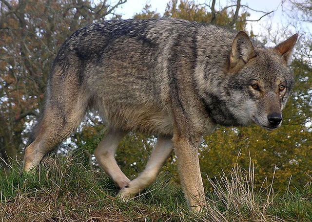 chasse-roumanie-loup