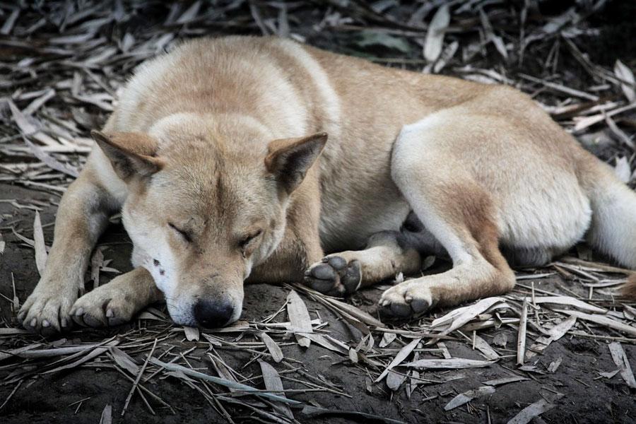 chien-endormi