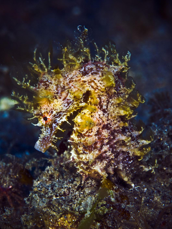 Un hippocampe à long bec via Shutterstock