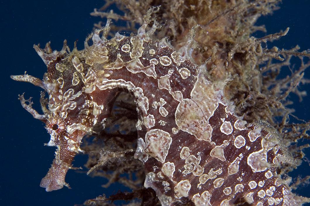 Hippocampus erectus via Shutterstock