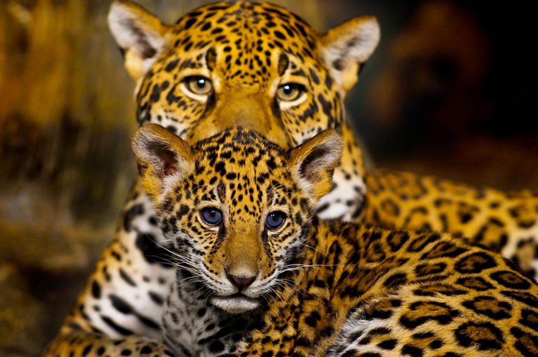 l image de la semaine un b b jaguar et sa maman se c linent dans leur tani re daily geek show. Black Bedroom Furniture Sets. Home Design Ideas