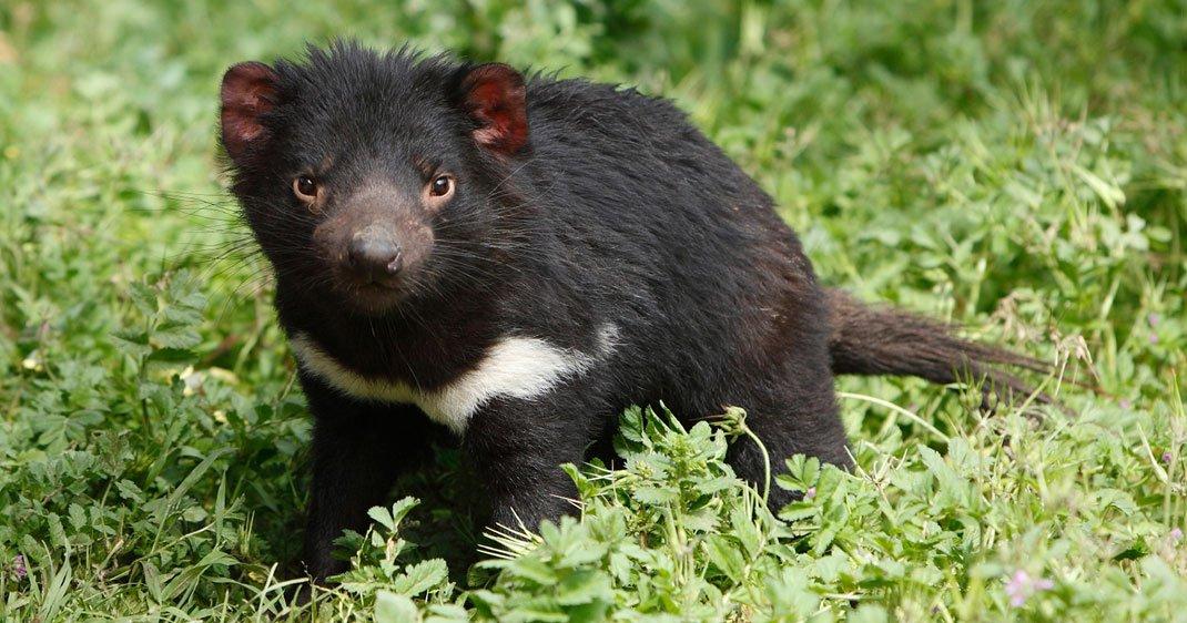 lait-diable-tasmanie-une