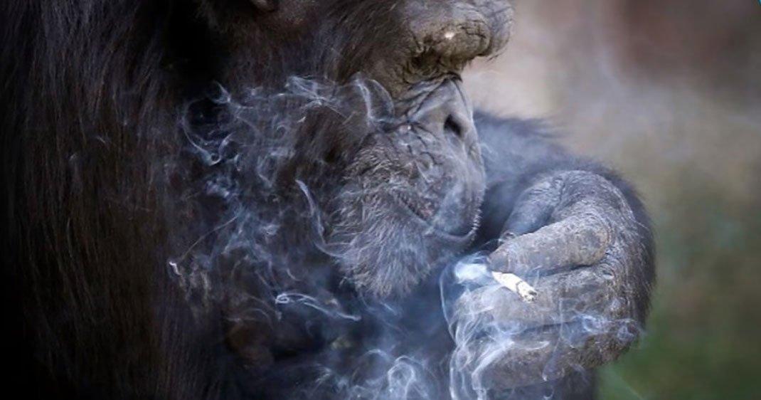 singe-fumeur-une-3