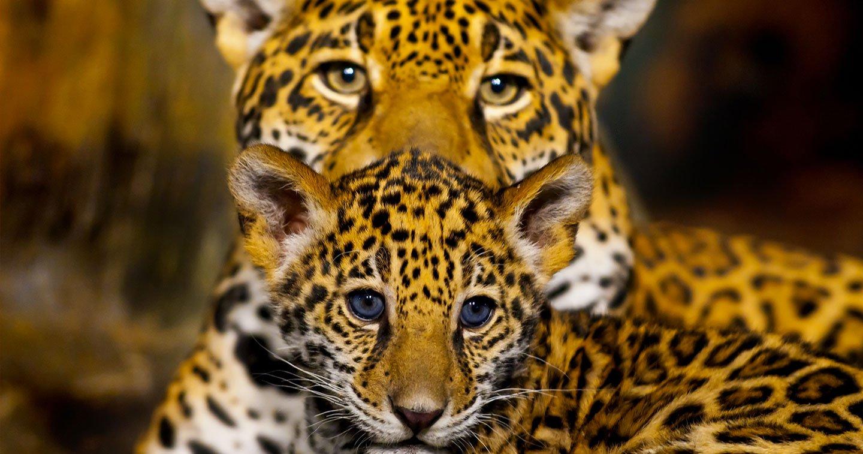 L image de la semaine un b b jaguar et sa maman se c linent dans leur tani re daily geek show - Bebe du jaguar ...