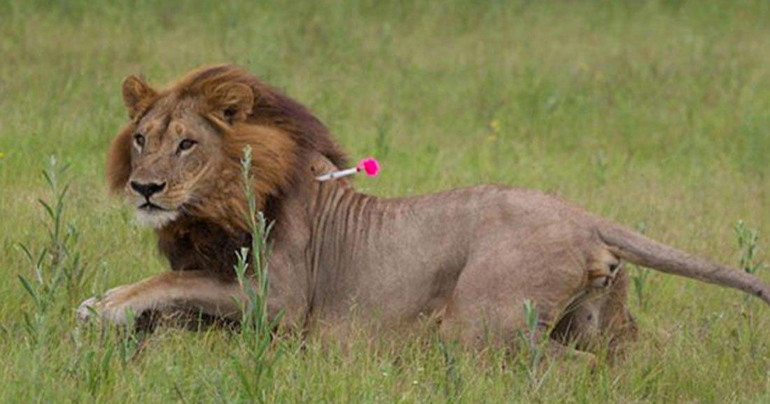 une-lionne-criniere