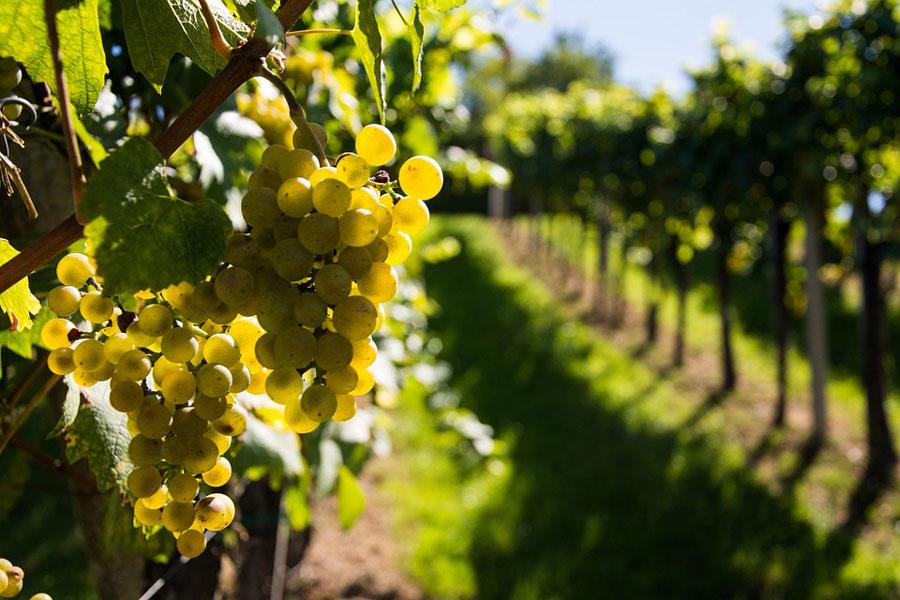 vin-rechauffement-climatique-raisin