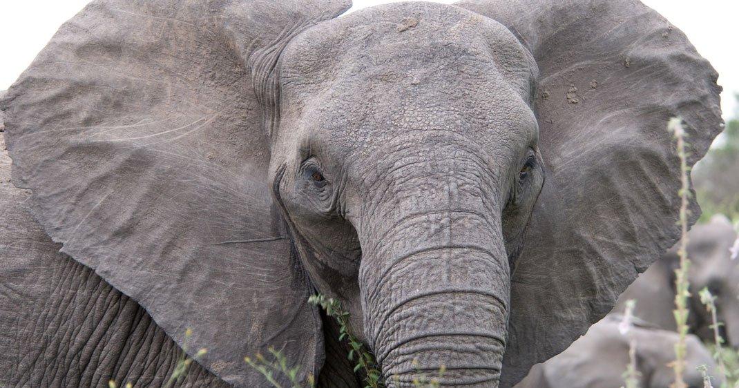 elephant-sans-defenses-une-2