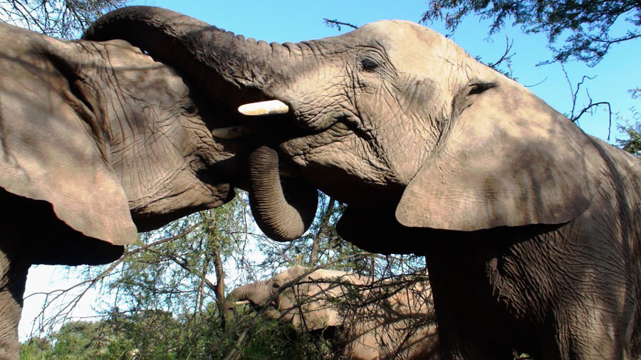 elephants-calin
