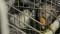 © L214 - Des canards élevés dans des cages pour leur foie gras