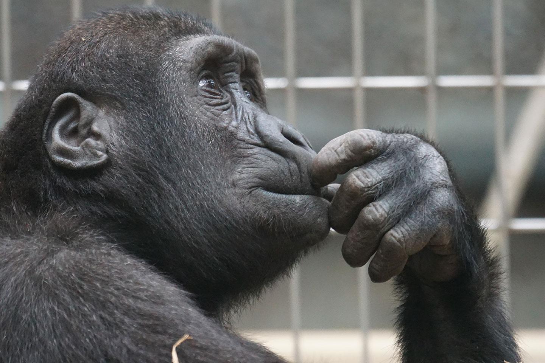 primate-triste