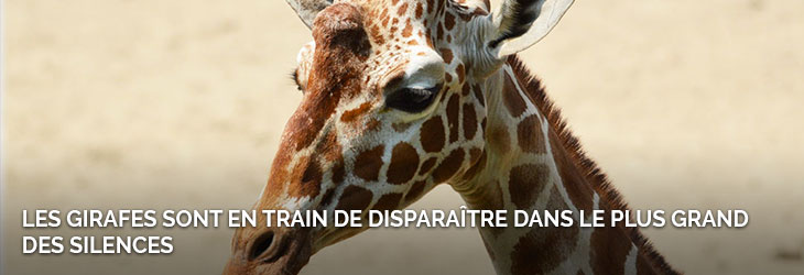 8-recap-girafes